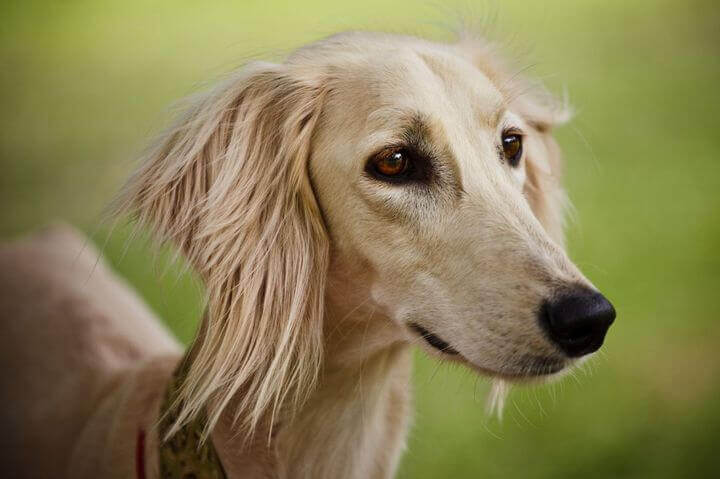 10 Most Expensive Dog Breeds In The World By Petfluf Com
